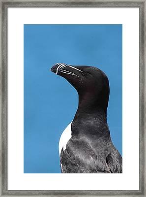 Razorbill Profile Framed Print by Bruce J Robinson
