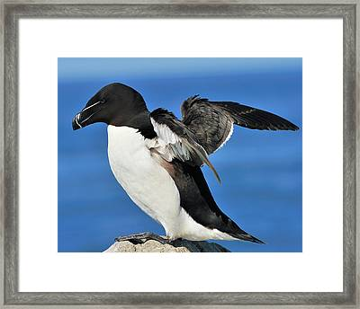 Razorbill Framed Print by Tony Beck