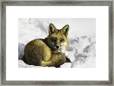 Ready Red Fox Framed Print