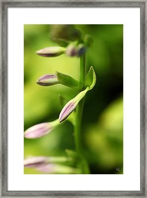 Ready To Bloom Hostas Framed Print by Karol Livote