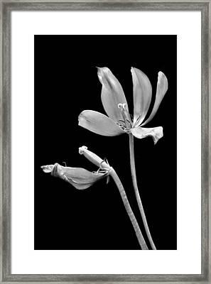 Ready To Drop Framed Print by Nikolyn McDonald