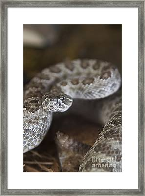 A Rattlesnake Thats Ready To Strike Framed Print