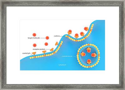 Receptor-based Endocytosis Framed Print by Science Photo Library