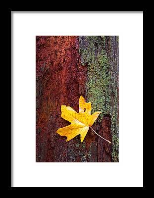 Autumn Leaves Framed Prints