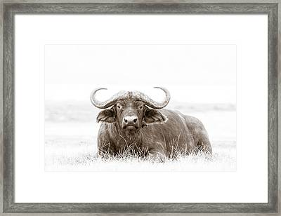 Reclining Buffalo With Oxpecker Framed Print by Mike Gaudaur