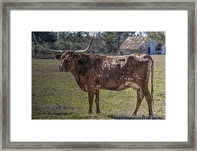 Red 507 Longhorn Framed Print