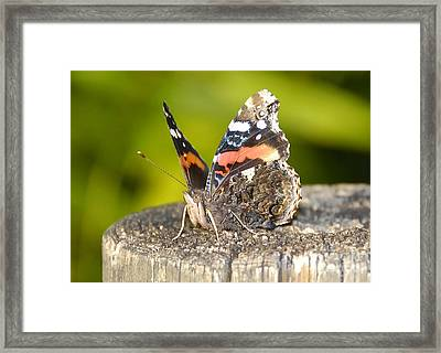 Red Admiral Butterfly Framed Print by David Lee Thompson