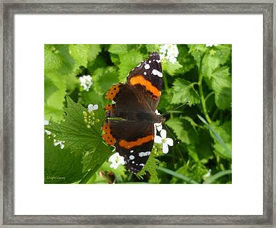 Framed Print featuring the photograph Red Admiral In Toronto by Lingfai Leung