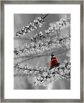 Red Admiral On White Blossom Framed Print
