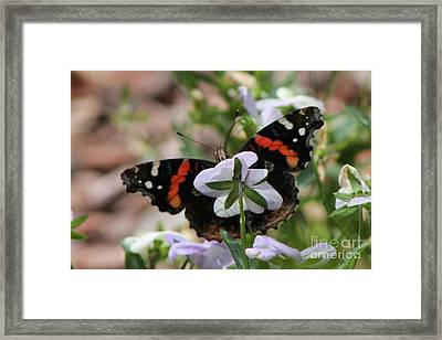 Red Admiral  Framed Print by Sarah Boyd