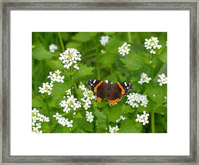 Framed Print featuring the photograph Red Admirals by Lingfai Leung