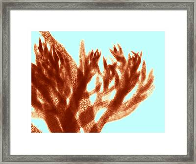 Red Algae, Light Micrograph Framed Print by Science Photo Library