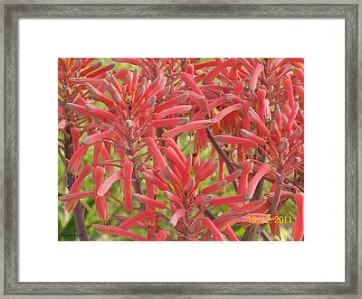 Framed Print featuring the photograph Red Aloe Blooms by Belinda Lee
