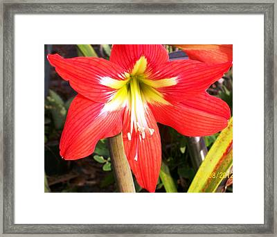 Framed Print featuring the photograph Red Amarylis by Belinda Lee