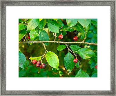 Red And Black Berries Framed Print