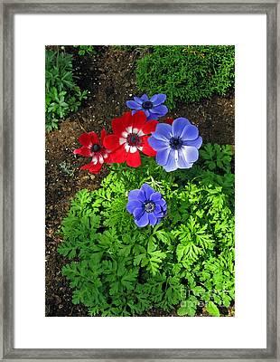 Red And Blue Anemones Framed Print by Ausra Huntington nee Paulauskaite