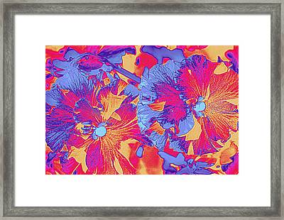 Red And Blue Pansies Pop Art Framed Print by Dora Sofia Caputo Photographic Art and Design