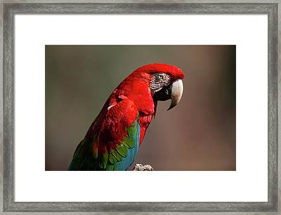 Red And Green Macaw Searching-portrait Framed Print by Jan and Stoney Edwards