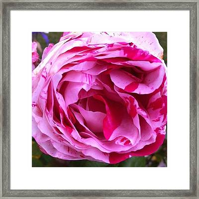 Red And Pink Rose Framed Print