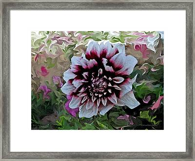 Red And White Dahlia  Framed Print