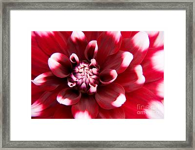 Red And White Fubuki Dahlia Framed Print by Julia Hiebaum