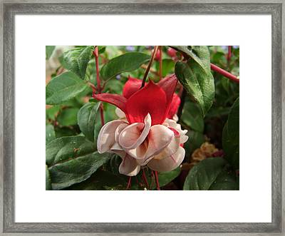 Red And White Fuschia Framed Print