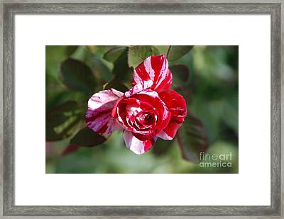 Framed Print featuring the photograph Red And White by George Mount