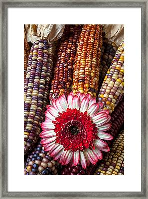 Red And White Mum With Indian Corn Framed Print