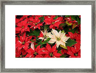 Red And White Poinsettia Framed Print