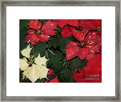 Red And White Poinsettia Framed Print by Kathleen Struckle