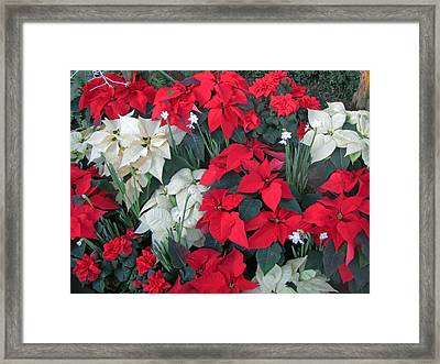 Red And White Poinsettias Framed Print
