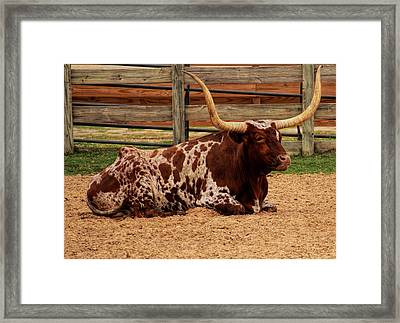 Red And White Texas Longhorn Framed Print