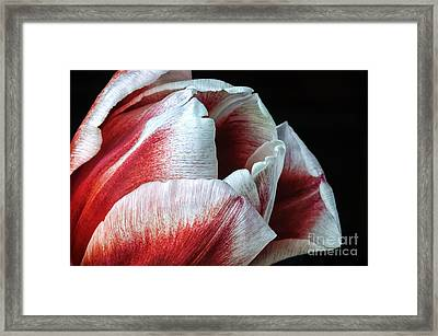 Red And White Tulip Closeup Framed Print by Madonna Martin