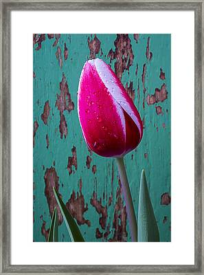 Red And White Tulip Framed Print by Garry Gay