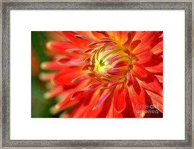 Red And Yellow Dahlia Flower Close Up Framed Print
