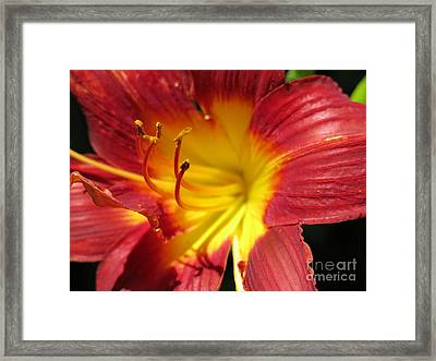 Red And Yellow Day Lily Framed Print