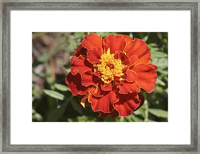 Red And Yellow Marigold Flower Framed Print by Keith Webber Jr