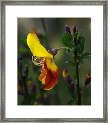 Framed Print featuring the photograph Red And Yellow Scotchbroom by Adria Trail