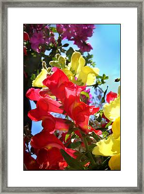 Red And Yellow Snapdragons I Framed Print by Aya Murrells