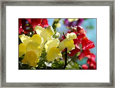 Red And Yellow Snapdragons II Framed Print by Aya Murrells