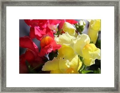 Red And Yellow Snapdragons IIi Framed Print by Aya Murrells
