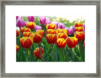 Framed Print featuring the photograph Red And Yellow Tulips  by Allen Beatty