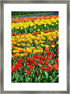 Red And Yellow Tulips Framed Print by Gynt