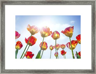 Red And Yellow Tulips Framed Print by Mythja  Photography