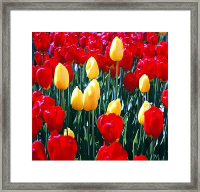 Red And Yellow Tulips - Square Framed Print