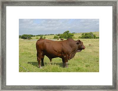 Red Angus Bull Framed Print by Charles Beeler
