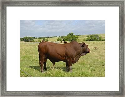 Red Angus Bull Framed Print