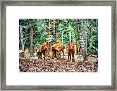 Red Angus Calves Framed Print