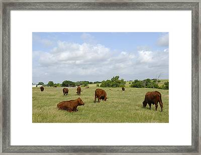 Framed Print featuring the photograph Red Angus Cattle by Charles Beeler