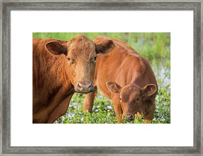 Red Angus Cow And Calf Drinking Water Framed Print by Maresa Pryor